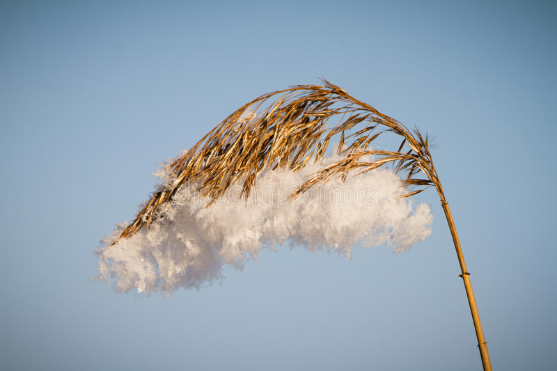 Frozen reed stock image