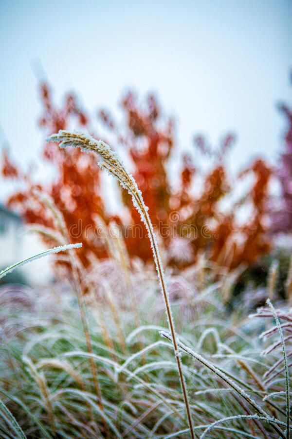 frozen reed and colourful trees in the background stock image