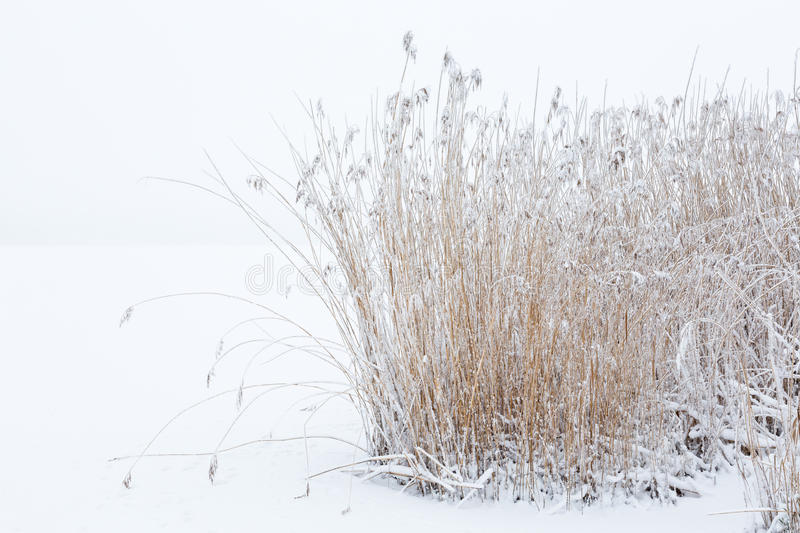 Frozen Reedbed in winter stock photos