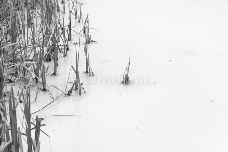 Frozen reeds. Sticking out of an icy water surface royalty free stock photos