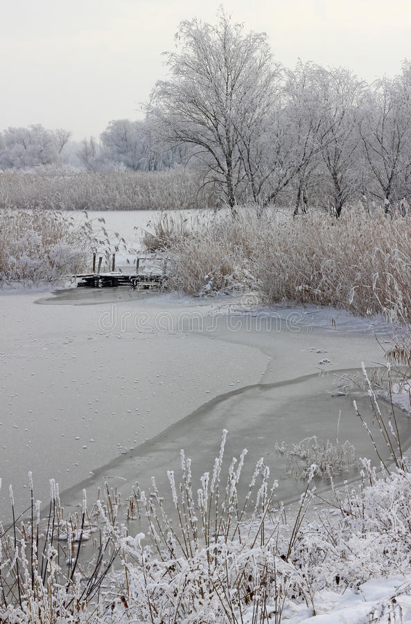 Frozen reeds and grass. Near the lake stock image