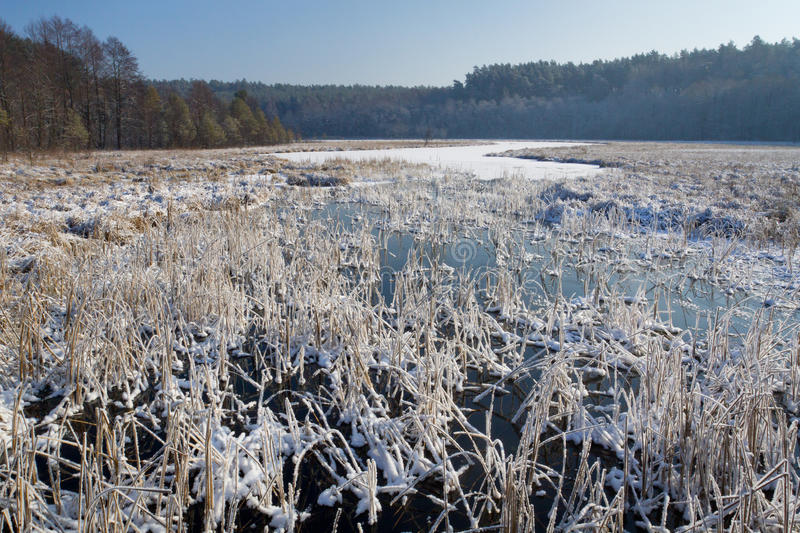 Frozen reeds in the lake stock photos