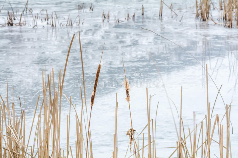 Frozen reeds over icy lake. Snowy winter landscape with dry frozen reeds on the shoreline. . royalty free stock photography