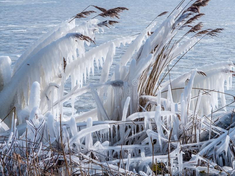 Frozen reeds in winter. Iced reeds on the shore of a frozen lake royalty free stock images
