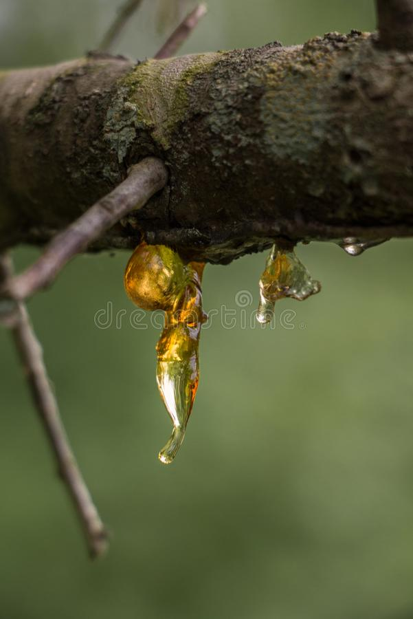 Frozen resin on a tree branch stock photo