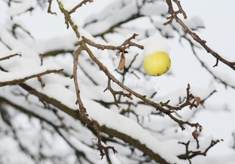 Frozen ripe yellow apple on the apple tree covered snow royalty free stock photo