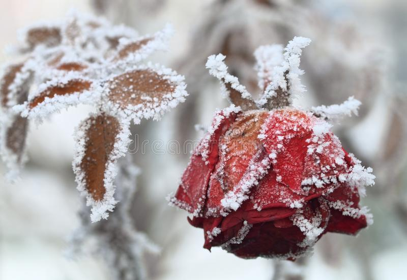 The frozen rose stock image