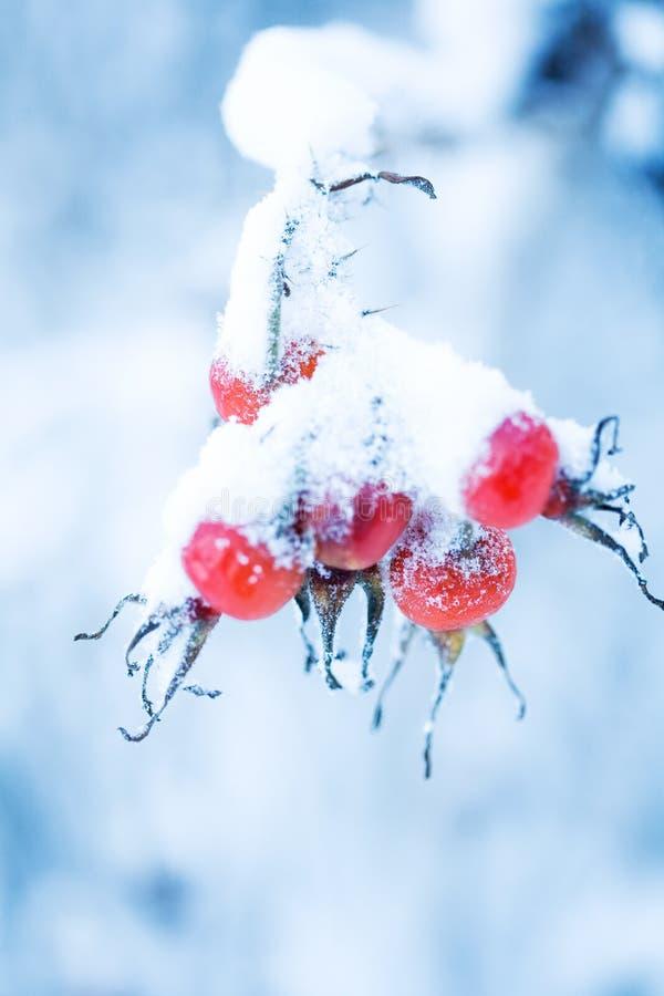 Free Frozen Rose Bush Royalty Free Stock Photography - 12502077