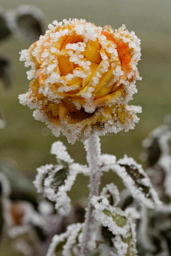 Frozen rose. Close-up of an orange rose covered with frost