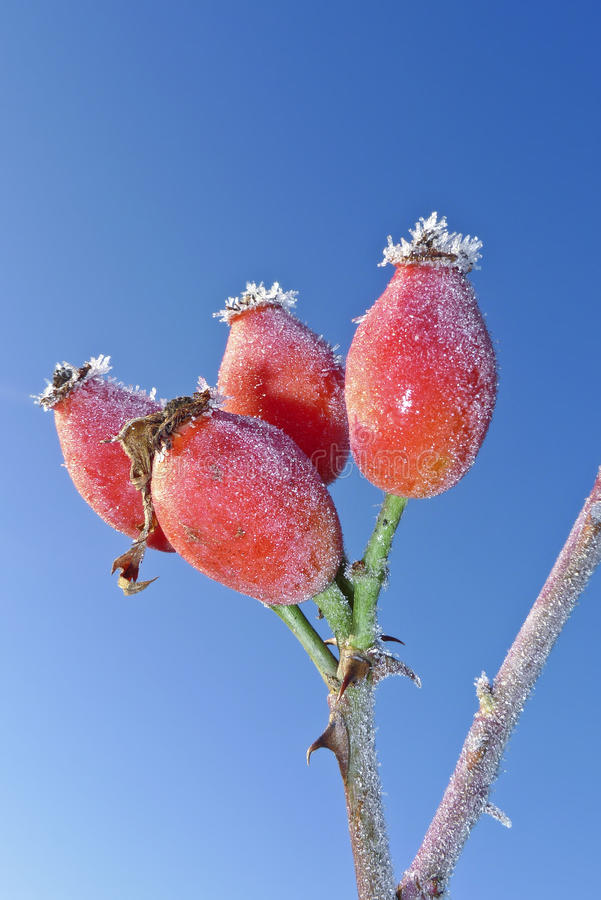 Free Frozen Rose Hips Stock Images - 22012084