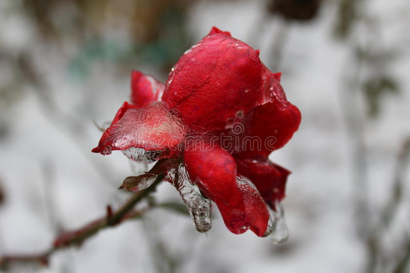 Frozen Rose stock photos