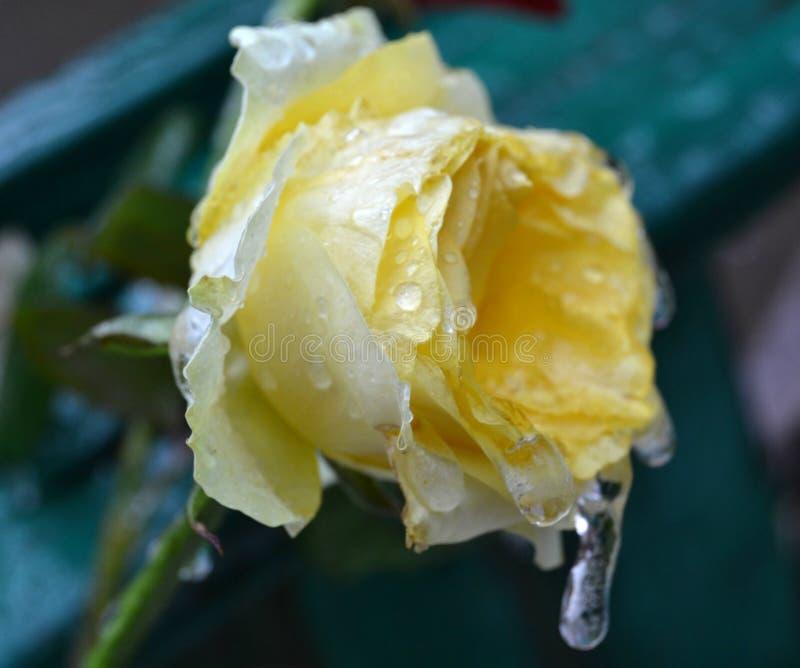 Frozen rose royalty free stock photos