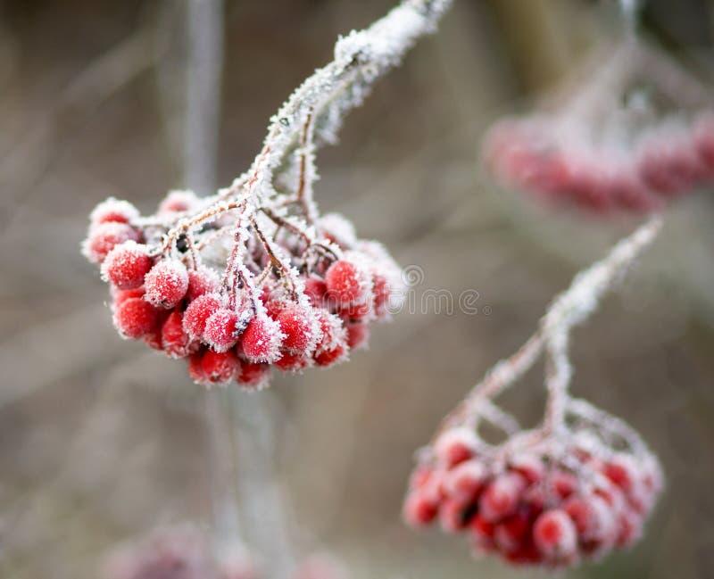 Frozen rowan berries stock images