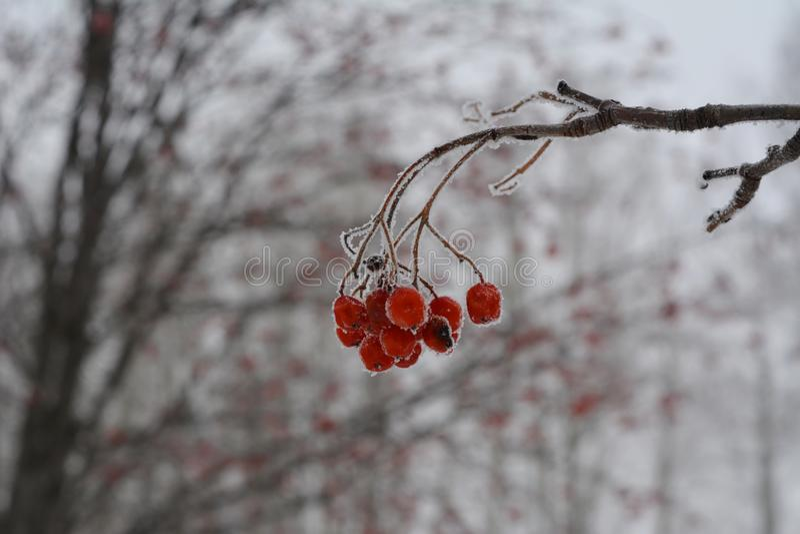 Frozen rowan berries on blurred background. Winter scene.  stock images