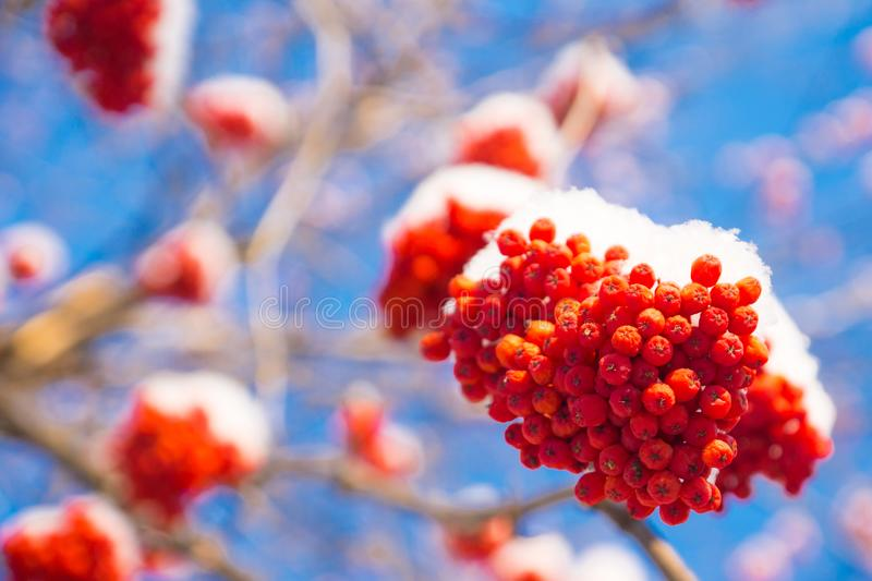 Frozen rowan berries in snow, clear blue sky. Background royalty free stock photos
