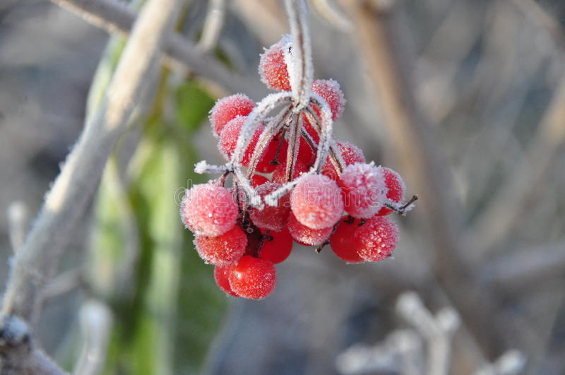 Frozen rowanberry stock photography