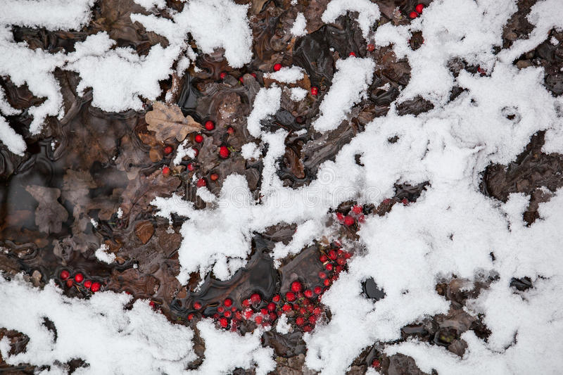 Frozen rowanberry under the snow royalty free stock images