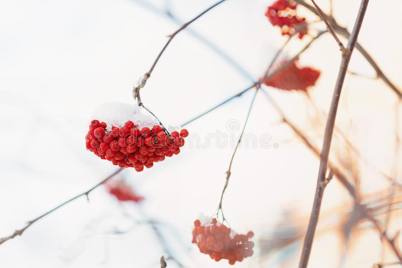 Frozen rowanberry under the snow. Frozen rowanberry under the first snow. Selective focus stock images
