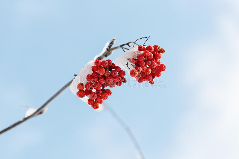 Frozen rowanberry under the snow. Frozen rowanberry under the first snow. Selective focus royalty free stock photos