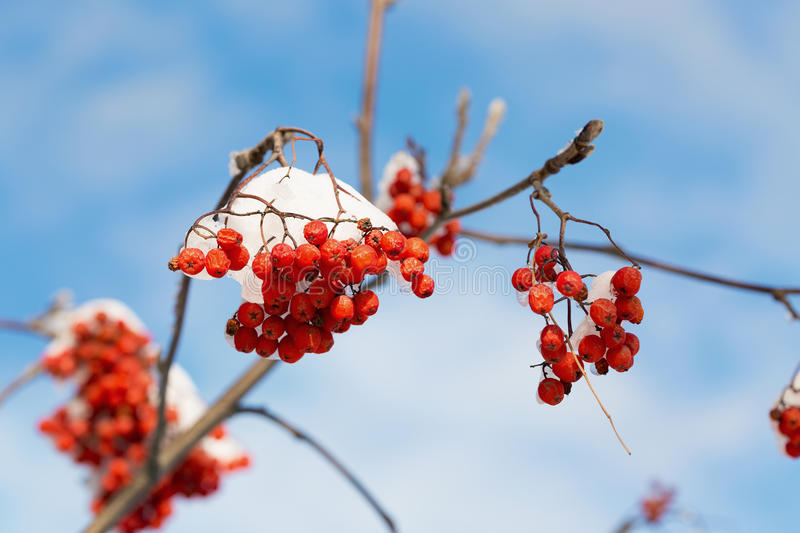 Frozen rowanberry under the snow. Frozen rowanberry under the first snow. Selective focus royalty free stock photo