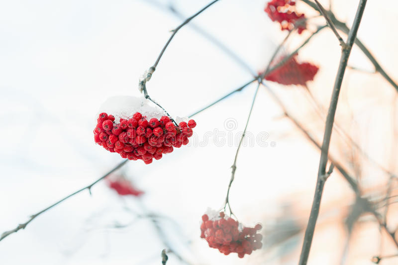 Frozen rowanberry under the snow. Frozen rowanberry under the first snow. Selective focus royalty free stock photography