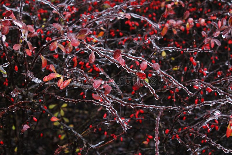 Frozen shrub stock images
