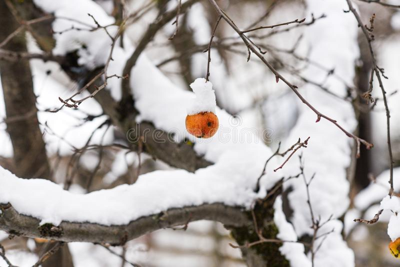 Frozen snow-covered apple hanging on a tree stock photography