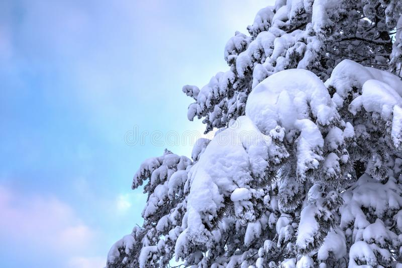 Frozen Snowy Pine Branches. Frozen pine branches under the snow stock images