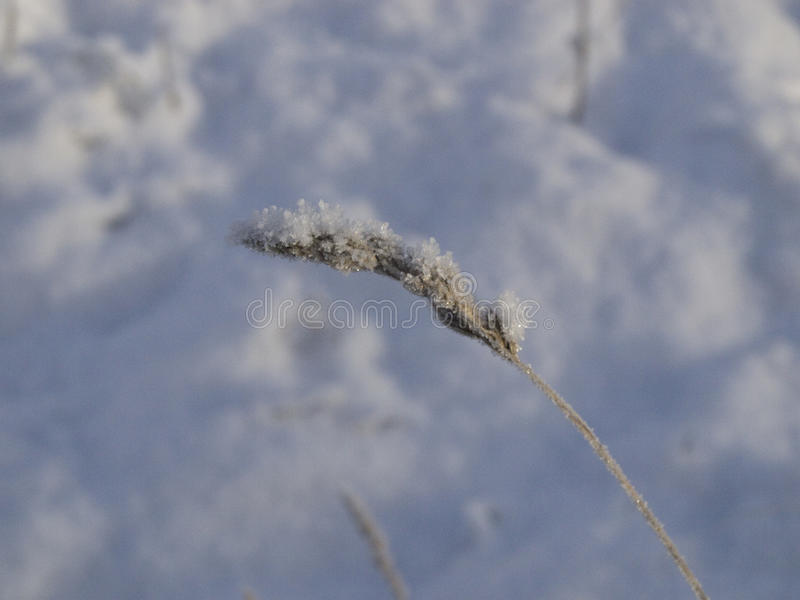 Frozen spike in the snow stock images