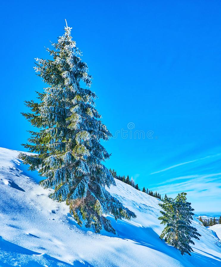 The frozen spruces on Zwolferhorn, St Gilden, Salzkammergut, Austria. The steep Zwolferhorn mountain slope with pure white snow and tall spruce tree, covered royalty free stock photo