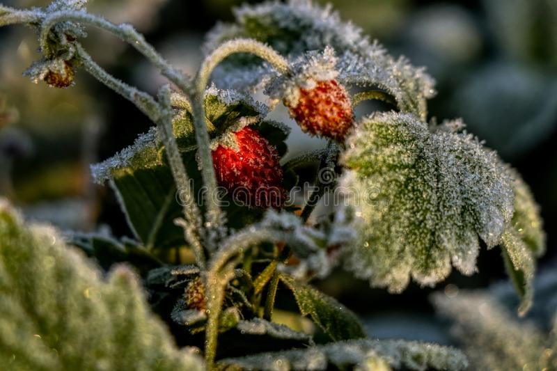 A frozen strawberries on green leaf in morning sun light. Beautiful cold delicacy with many vitamines in morning.  stock image