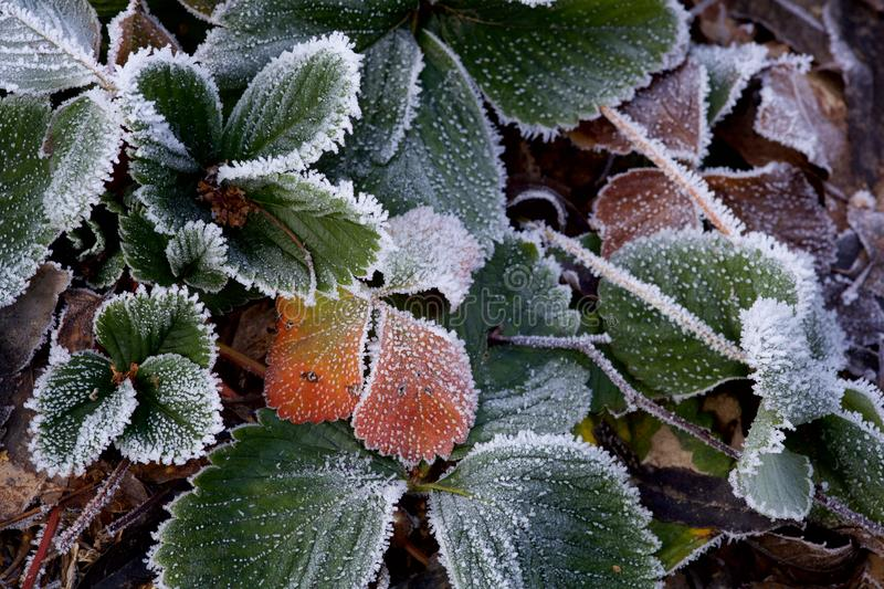 Frozen Strawberry Plants in a Garden. A close-up of a frozen strawberry plant in a garden, after a freezy winter night royalty free stock images