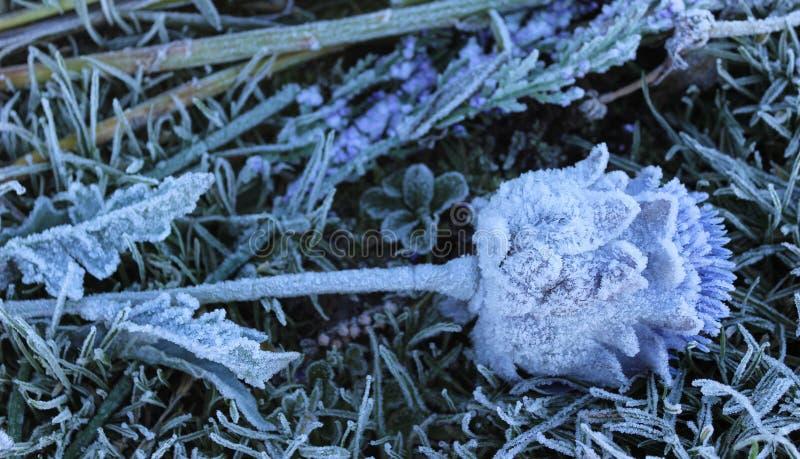 Frozen Thistle stock foto's