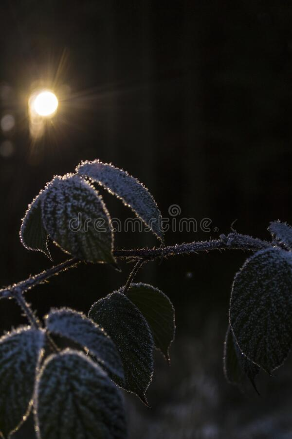 Frozen thorns in sunlight on a cold afternoon in Winter stock photos
