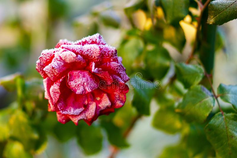 Frozen in Time. Frozen red beauty. stock photos