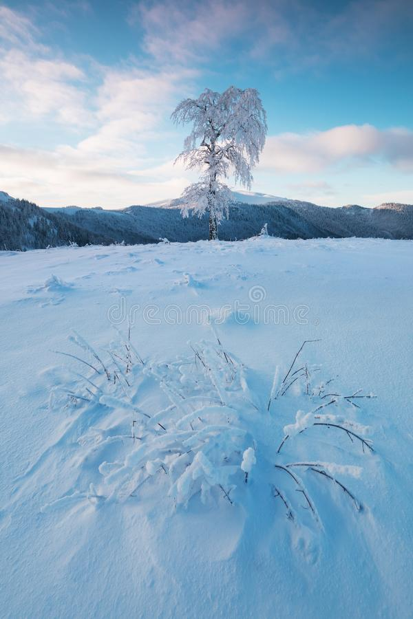 Frozen tree on winter field and blue sky Winter landscape - frosty trees in snowy forest in the sunny morning. Christmas royalty free stock image