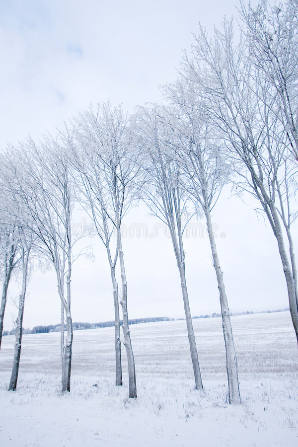 Download Frozen trees stock image. Image of backgrounds, birch - 7781869