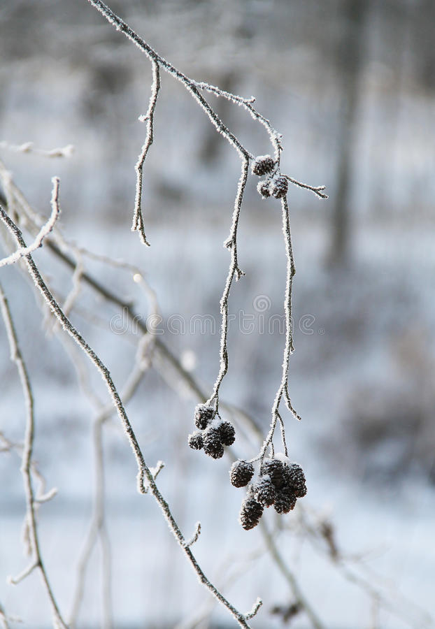 Download Frozen twig with cones stock photo. Image of hoarfrost - 83710672