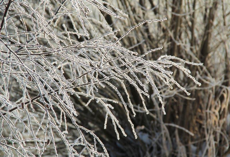 Download Frozen twigs stock photo. Image of tree, melancholic - 83712192