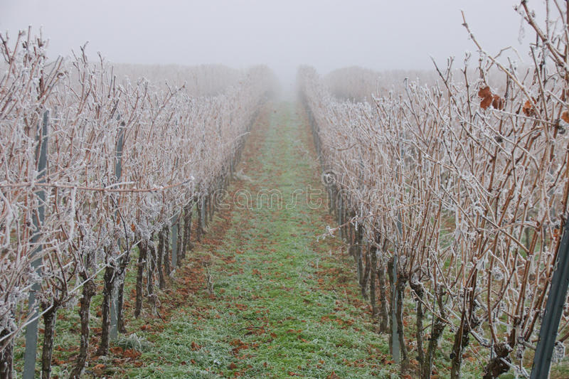 Frozen vineyard royalty free stock image