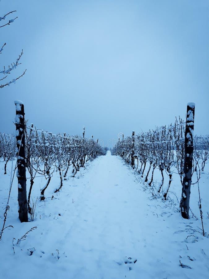 Frozen vineyard royalty free stock images