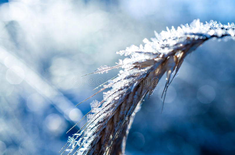 Download Frozen Wheat Grown With Ice Crystals Stock Photo - Image: 83703558