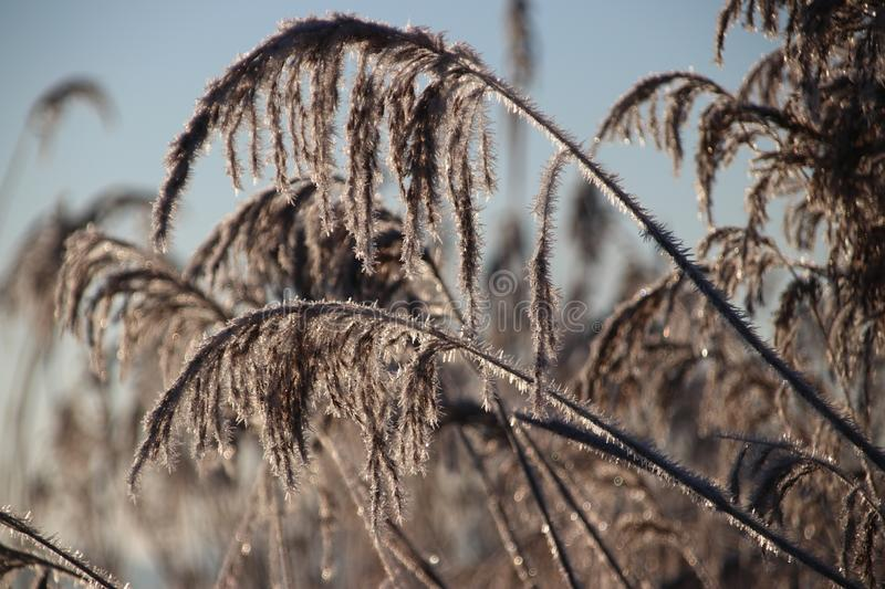 Frozen white reed leaves with ice needles in the sunrise at Park Hitland in Nieuwerkerk aan den IJssel in the Netherlands. stock photography