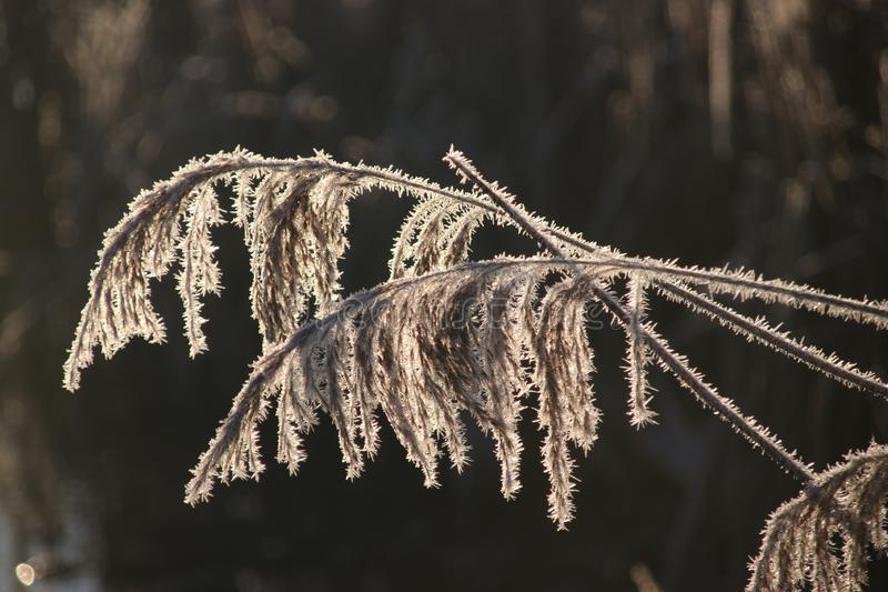 Frozen white reed leaves with ice needles in the sunrise at Park Hitland in Nieuwerkerk aan den IJssel in the Netherlands. stock images