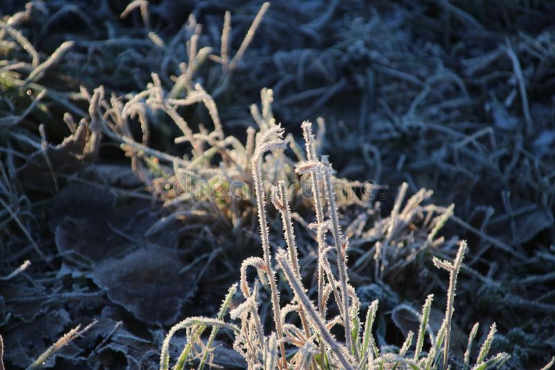Frozen white reed leaves with ice needles in the sunrise at Park Hitland in Nieuwerkerk aan den IJssel in the Netherlands. royalty free stock image