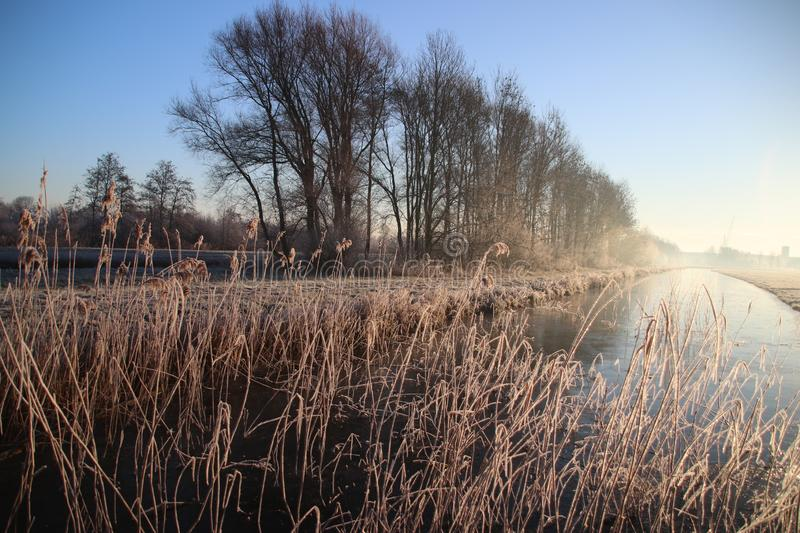 Frozen white reed leaves with ice needles in the sunrise at Park Hitland in Nieuwerkerk aan den IJssel in the Netherlands. stock photos
