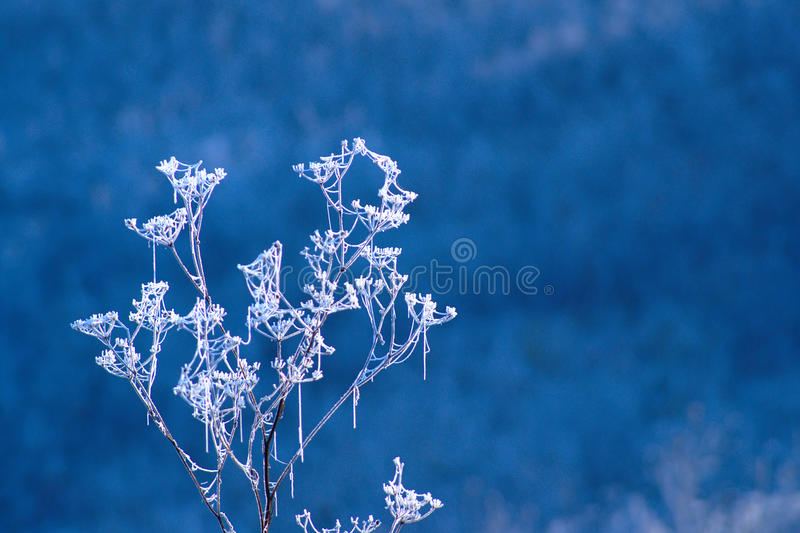 Frozen Wild Flowers In Autumn Morning. Frozen dry wild flowers glittering in cold sunny autumn morning on blue background royalty free stock images