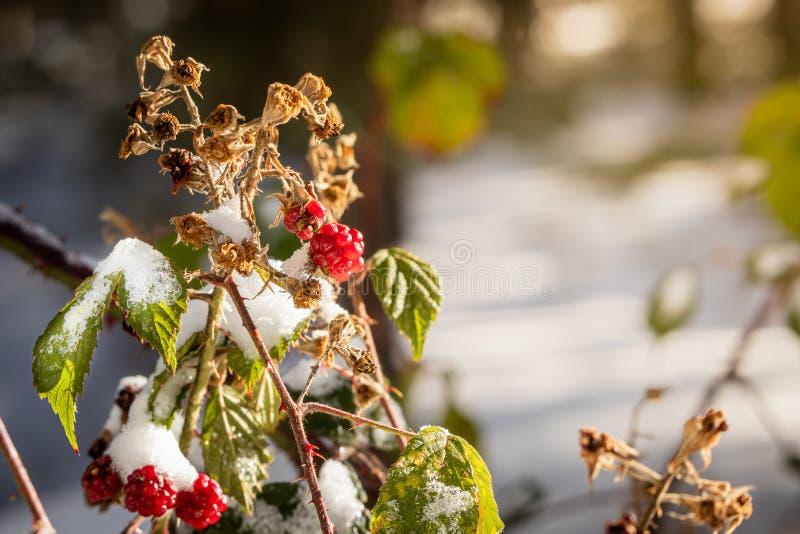 Frozen wild fruits. Blackberries. royalty free stock image