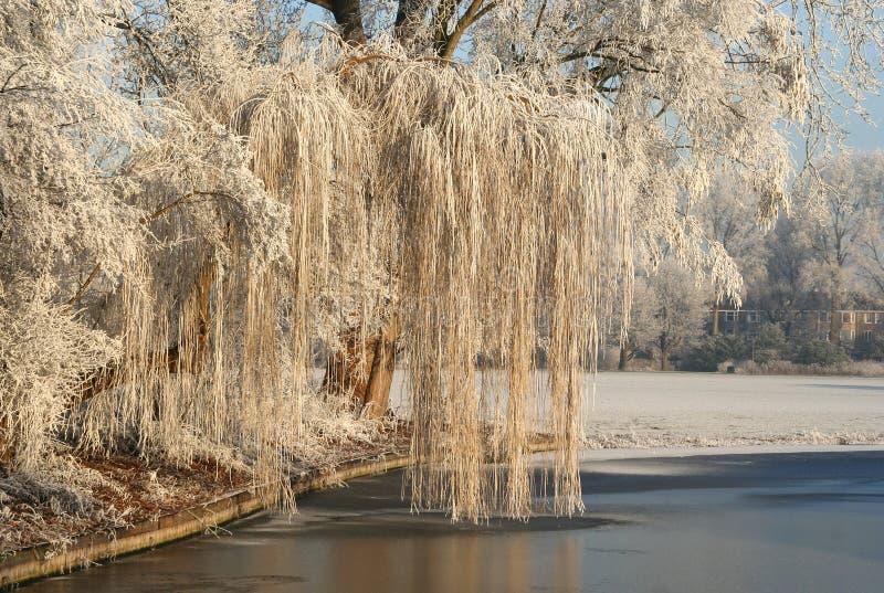 Frozen Willow