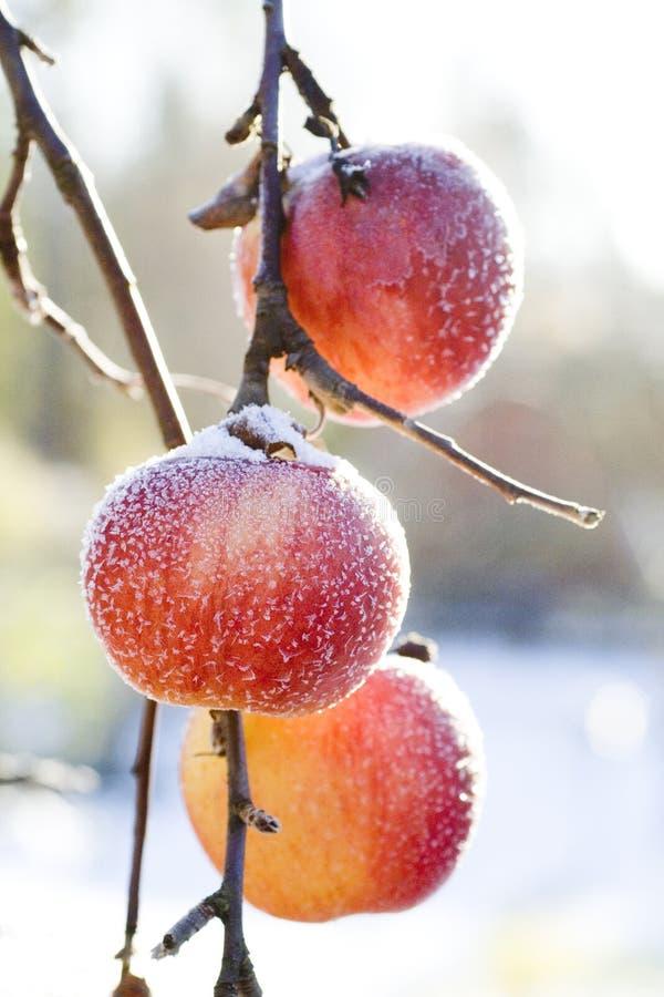 Frozen winter apples stock photography